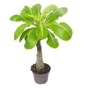 1 Hawaii Palme 50cm+/- brighamia insignis