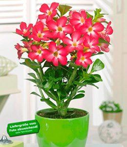 BALDUR-Garten Wüsten-Rose 'Rot',1 Pflanze