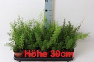 2 Stück Asparagus Meyeri 30cm Zierspargel Asparagus Zimmerpflanzen