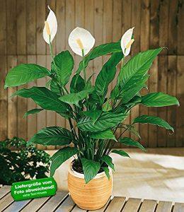 BALDUR-Garten Einblatt (Spathiphyllum),1 Pflanze Friedenslilie