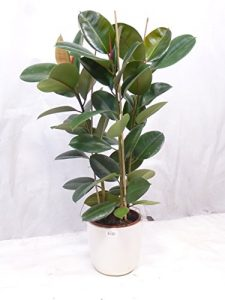 """Gummibaum – Ficus elastica """"robusta"""" 120 cm 3er Tuff // Zimmerpflanze"""