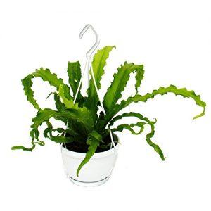 Zimmerpflanze zum Hängen – Asplenium – Nestfarn – 14cm Ampel