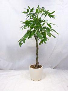 Pachira aquatica 150 cm – Glückskastanie / Zimmerpflanze