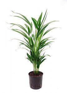 Goldfruchtpalme / Arecapalme, Chrysalidocarpus lutescens, Zimmerpflanze in Hydrokultur, 13/12er Kulturtopf, 30 – 40 cm