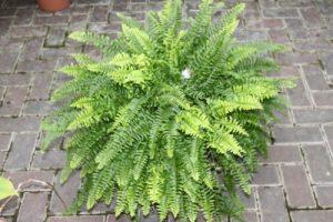 Zimmerpflanze – Nephrolepsis – Boston-Farn – Buschige Zimmerpflanze, ca. 45cm hoch