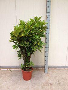 verschiedene Kroton 80 – 160 cm (Croton Gold Dust 120 cm)