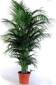 """Die schönste Zimmerpalme der Welt ! Howea Forsteriana """"Kentia Palme"""" Anspruchslos von jedermann zu pflegen 1 Pflanze 150-160cm."""