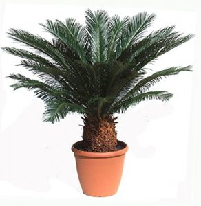 Cycas revoluta Zimmer Palmfarn Sagopalme Zimmerpalme ca 60-70 cm. Höhe