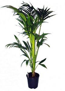 Kentia-Palme 80cm hoch, 1 Pflanze