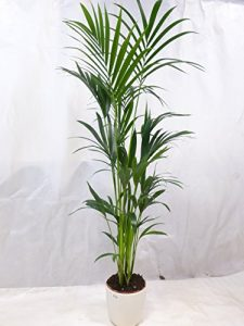 Howea forsteriana – Kentia Palme – 200 cm // Zimmerpflanze – Zimmerpalme