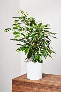 EVRGREEN Birkenfeige | Ficus Benjamini | Zimmerpflanze in Hydrokultur | im Set inkl. Keramiktopf (weiß) | ficus benjamina anastasia
