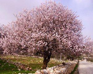 Sehr Selten ! Echter Mandelbaum Prunus dulcis 1 Baum Größe 100-110 cm Frosthart bis maximal -15 Grad