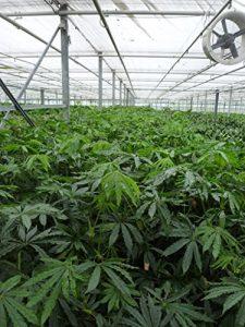 Anthurium Polyschistum Tweed – falsches Marihuana