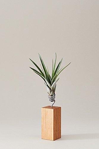 EVRGREEN | Luftpflanzen Tischdeko Garten auf Kirsch-Holz | Tillandsien Deko draußen | Tillandsia fasciculata