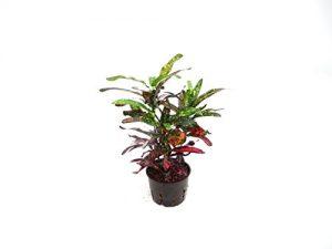 Kroton, Codiaeum variegatum Batik, ca.30 – 35 cm, besondere Zimmerpflanze in Hydrokultur, 11/9er Kulturtopf