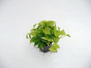 Efeutute, Epipremnum aureum Neon, Zimmerpflanze in Hydrokultur, 15/19er Kulturtopf, 20 – 30 cm