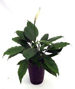 Einblatt, Spathiphyllum Hybriden White Queen, Zimmerpflanze in Hydrokultur, 15/19er Kulturtopf, 40 – 50 cm
