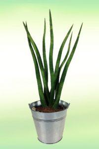 Zimmerpflanze Sansevieria inklusive Zink-Übertopf