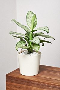 EVRGREEN Kolbenfaden | | Zimmerpflanze in Hydrokultur | im Set inkl. Keramiktopf (creme) | Agloaonema commutatum Maria christina