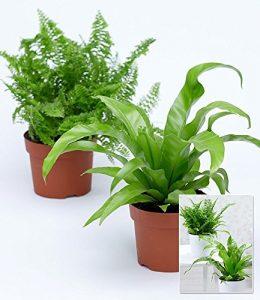 """BALDUR-Garten Zimmerpflanzen-Mix """"Farn"""",2 Pflanzen"""