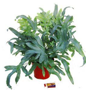 Phlebodium 'Blue Star' – Blaufarn Zimmerpflanze