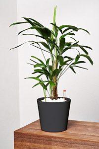 EVRGREEN Steckenpalme | Zimmerpalme | Zimmerpflanze in Hydrokultur | im Set inkl. Keramiktopf (anthrazit/schwarz) | Rhapsis excelsa