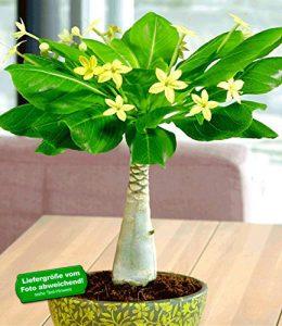 BALDUR-Garten Hawaii-Palme 30-40 cm hoch, 1 Pflanze Brighamia insignis