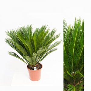 Cycas Revoluta 70cm +/- ,Palmfarn – Sagopalme, Topfgröße 15 cm