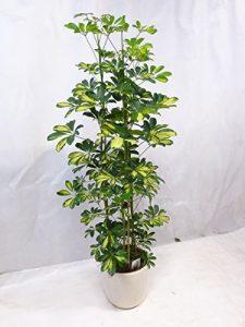 """Schefflera arboricola """"gold capella"""" Strahlenaralie 170 cm 3er Tuff / Zimmerpflanze"""