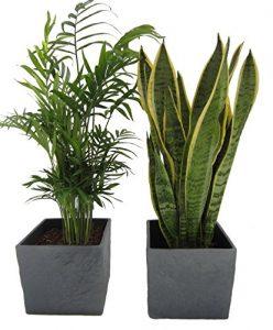 Zimmerpflanzen-Duo, Zimmerpalme+Sanseveria im Scheurich Würfeltopf anthrazit-stone, ca.14x14x14cm, 2 Pflanzen und 2 Töpfe