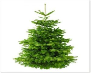 Echter Tannenbaum Weihnachtsbaum Nordmanntanne 145-160 cm gross