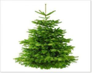 Echter Tannenbaum Weihnachtsbaum Nordmanntanne 175-200 cm 1a Qualität