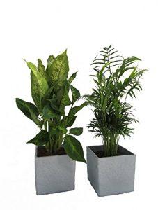 Fresh-Air-Duo, Zimmerpalme + Dieffenbachia im Scheurich Würfeltopf grau-stone, ca. 14x14x14cm, 2 Pflanzen und 2 Töpfe