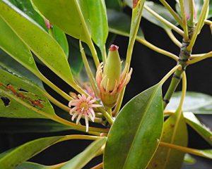 Orange Mangrove (Bruguiera sexangula) Samen/Keimlinge ***Die seltenste Mangrove***