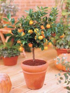 Zwerg Orangenbaum