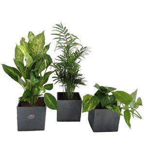 Raumrefresher, Zimmerpflanzen Mix im Scheurich Würfeltopf anthrazit -stone, 14×14 cm, 3 Pflanzen + 3 Töpfe