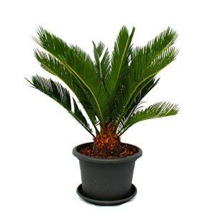 Cycas revoluta im grauen Dekotopf – Japanischer Palmfarn