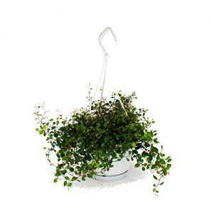 Zimmerpflanze zum Hängen – Mühlenbeckia complexa – Kiwi-Knöterich – 14cm Ampel