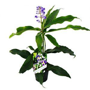 Blauer Ingwer – Dichorisandra thyrsiflora