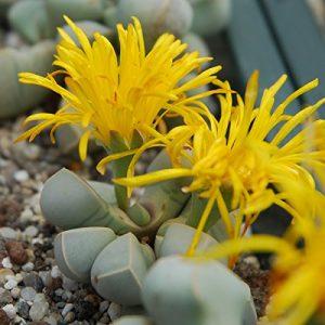 Lapidaria margaretae – Lithops – Lebende Steine – 1-3 cm Pflanz