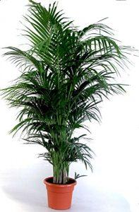 """Die schönste Zimmerpalme der Welt ! Howea Forsteriana """"Kentia Palme"""" Anspruchslos von jedermann zu pflegen 1 Pflanze 100-110 cm."""