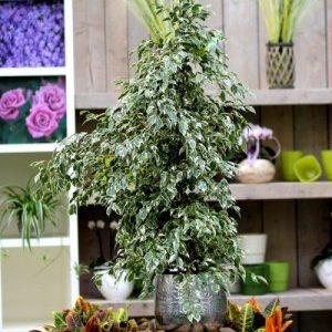 Birkenfeige Ficus benj. 'Profit' 150cm