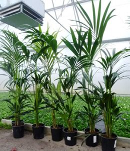 Kentia Palme 160cm+/- Howea Forsteriana Zimmerpflazne Palme