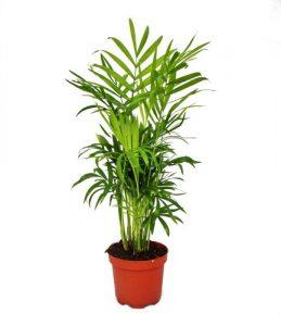 Chamaedorea elegans – Bergpalme – 3 Pflanzen