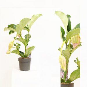 Medinilla magnifica , Medinille ,1-2 Blüten ,50cm + /-