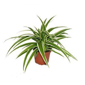Chlorophytum – Grünlilie – Brautschleppe – 9cm Topf – Zimmerpflanze