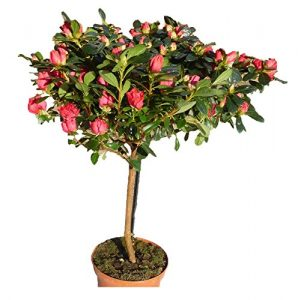 Eine Wunderschöne Zimmerpflanze Hochstamm Azalee Rot breit wachsener Krone Frühlingspflanze Rhodo