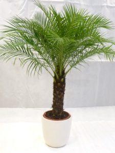 Phoenix roebelenii Zwerg-Dattelpalme 160 cm / Stamm 50 cm / Zimmerpalme