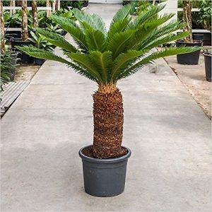 Cycas revoluta 20 – 130 cm Palmfarn Sagopalmfarn (130 cm / 50 cm Stamm)